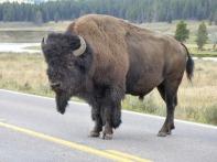 Wyoming Sept 2014 103 bison 600