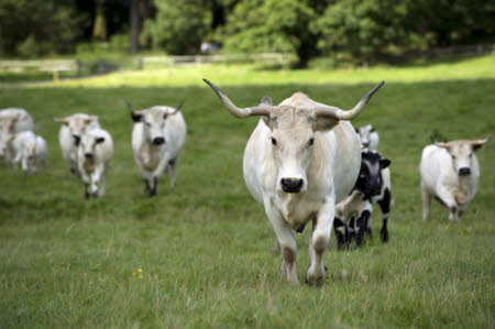White Park cattle at Dinefwr Park and Castle, Llandeilo, Carmarthenshire, Wales.