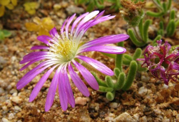 SA to Namibia 1 flower 750