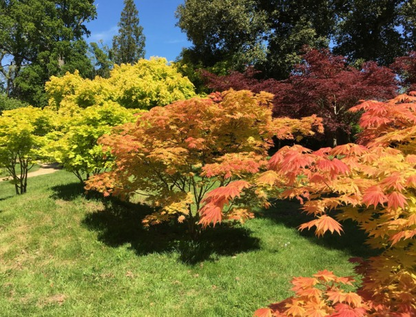 IMG_6387 Acer grove at Kingston Lacy 800.jpg